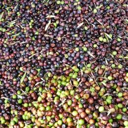 Olives récoltées