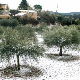 Oliviers en hiver