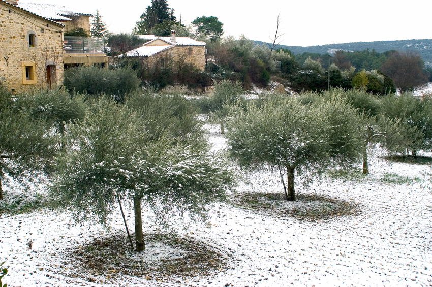 olive trees in winter domaine des opies