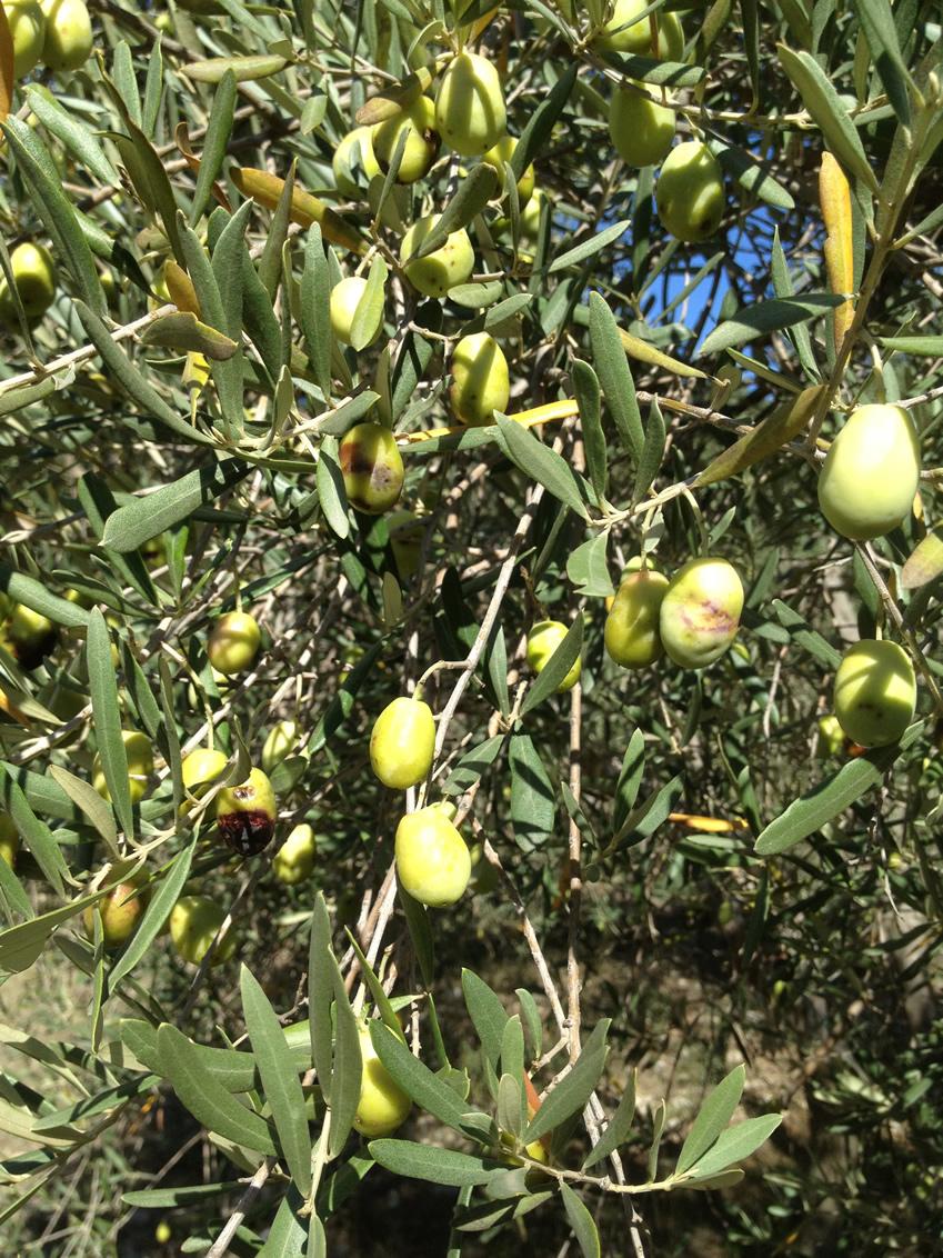 Olives sur l'Olivier